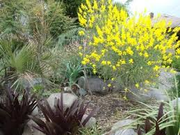 Genista aetnensis   Mount Etna Broom  plant lust