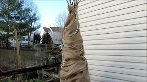 wrap trees in burlap
