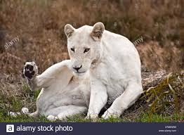 white lioness. Wonderful White Portrait Of A White Lioness Western Cape South Africa  Stock Image To White Lioness