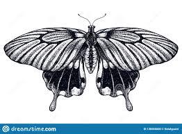 красивый эскиз татуировки бабочки тропическая бабочка Memnon Papilio