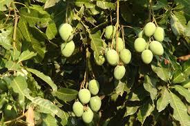 A mango tree essay