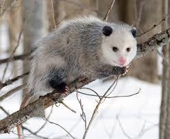 Opossum Wikipedia
