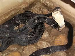 黒いコブラ