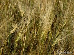 CEBADA la cebada en la Alimentacion, descubre o recuerda sus propiedades