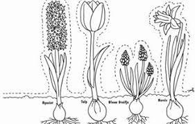 Samenvatting Biologie Verschil Tussen Bol En Knol 1e Klas Havovwo
