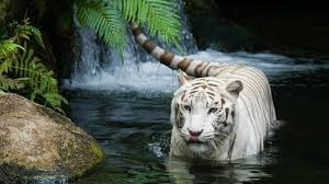 baby white tigers in water. Simple Tigers Tiger Clipart Hd Widescreen  ClipartFox On Baby White Tigers In Water F