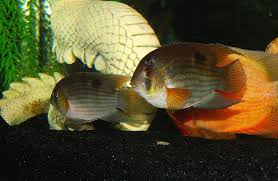 Small Picture Keyhole Cichlid Keyhole Cichlids Fish C Pinterest Cichlids