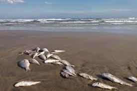 Red tide bloom is killing marine life ...