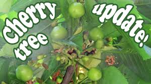 Cherry Tree Plant  Growing Rainier Cherries Fruit Trees  Organic Cherry Fruit Tree Care