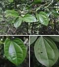 daun tiga jari asal papua