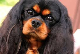 british and russian royalty have often owned members of this small dog breed