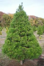 Types Of Trees Grown In Texas  Wintergreen Christmas Tree FarmWhat Kind Of Christmas Trees Are There