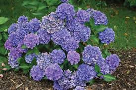 Image result for butterfly bushes roses and hydrangeas