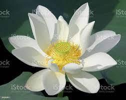 Blooming White Lotus Head Stockfoto en ...