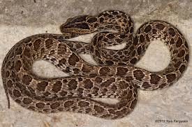 Black Snake With Diamond Pattern Best Design Ideas
