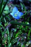Veronica triphyllos Calflora