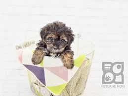 morkie puppies who found loving homes