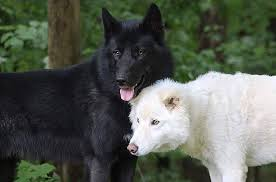 black wolf and white wolf pups. Exellent Pups Black Wolf White Wolf For Wolf And Pups B