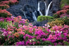 bougainvillea flowers and waterfall at garden in kauai hawaii stock image