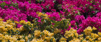 how to care for your bougainvilleas no comments yet by casaplanta garden center