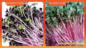 Hạt giống tốt nhập khẩu Nga - Hướng dẫn trồng rau mầm nhanh cho thu hoạch