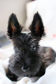 scottish terrier puppies. Fine Terrier Omg Scottie Pup More In Scottish Terrier Puppies E