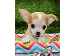 chihuahua puppies in va dogs
