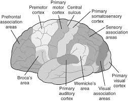 eloquent cortex diagram eloquent database wiring diagram schematics b9781455700844000176 f017 001 9781455700844