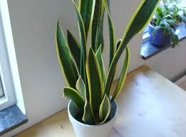 10 piante da appartamento alte e resistenti, per arredare la vostra casa. Piante Da Appartamento Resistenti Idee Green