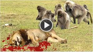 pitbull dog vs lion. Modren Pitbull LION Vs BABOON REAL FIGHT  ATTACK EXCLUSIVE Throughout Pitbull Dog Vs Lion V