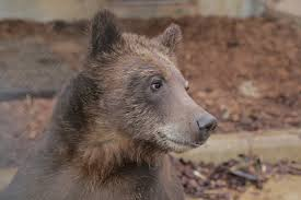 animal rescue toledo zoo toledo zoo grizzly cody 6