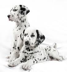 pongo 101 dalmatians wiki fandom powered by wikia