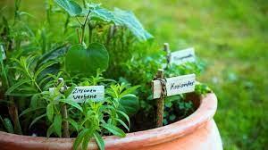 herbs companion planting
