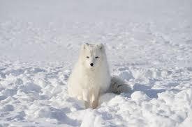 Image result for white fox