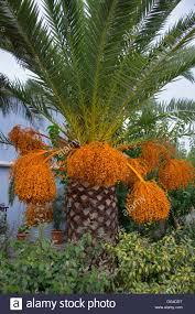 Beautiful Palm Tree With Bright Orange Fruits Stock Photo Royalty Palm Tree Orange Fruit