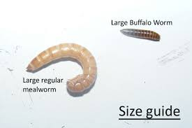 Mealworm Size Chart Livin Farms Smart Insect Farming For Upcycling Food Waste