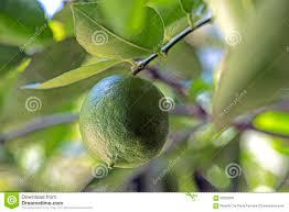 lemon tree x: lemon tree with fruit lemon tree fruit sao paulo sp brazil december citrus x latifolia fruitful hybrid one citrus more commercialized