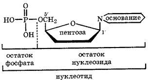 Нуклезоиды нуклеотиды и нуклеиновые кислоты Реферат являются сложными эфирами нуклеозидов и фосфорной кислоты которая обычно этерифицирует гидроксогруппы при С 5 пентозы В связи с наличием в молекуле