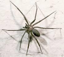 Brown Recluse Spider Wikipedia