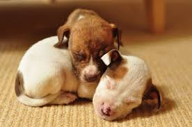 cute pitbull puppies wallpaper. Modren Cute Pitbull Wallpapers Pupies For Cute Puppies Wallpaper