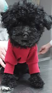 i am a black toy poodle puppy boy with beautiful luxurious curly locks and a little white on my front right toes see it in the picture