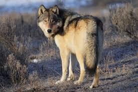 grey wolf size 387892 3888x2592px grey wolf 18 11 2015