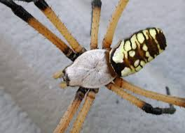 as with all spiders the eyes of black and yellow argiope spiders are located on the cephalothorax most spiders have 6 or 8 eyes