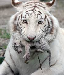 baby white tiger. Wonderful Tiger White Tiger Holding Baby Cub  To Baby Tiger A