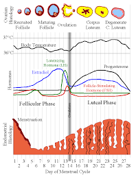 Menstrual Cycle Phases Chart Menstrual Cycle Phases Of Menstrual Cycle And Menstrual