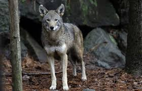 Wolf Species Size Chart What Is The Best Way To Save Endangered Red Wolves