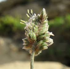 Aeluropus lagopoides (Cat's foot grass) : MaltaWildPlants.com - the ...