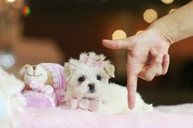 teacup puppies for in texas teacup puppies in texas yorkies for pocket puppies in texas teacup yorkies for