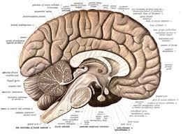 Human Brain Wikipedia