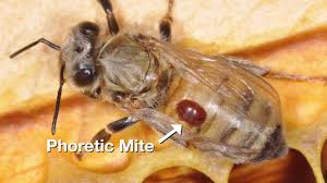 12 Using Requeening And Brood Interruption To Control Varroa Mites 111116